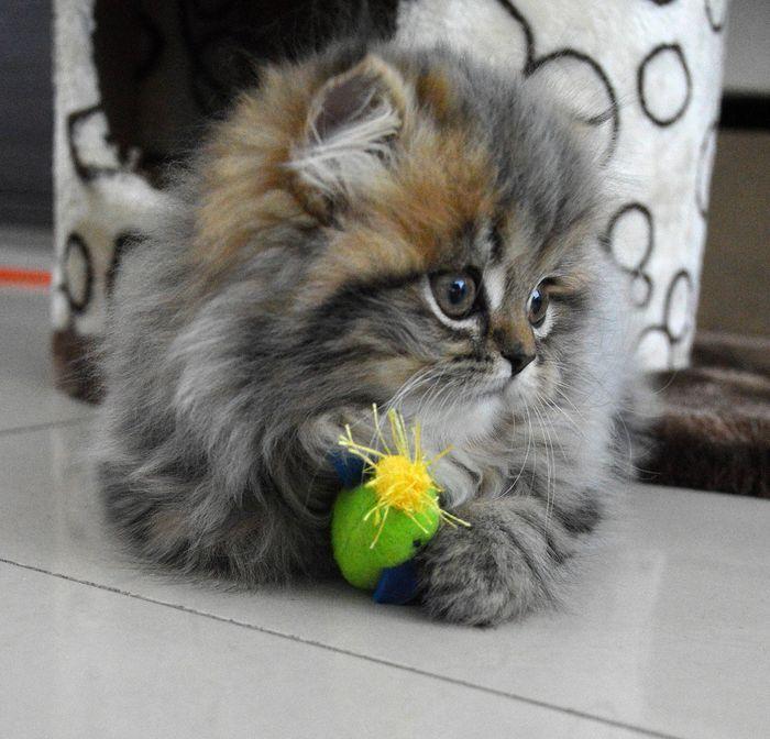 Lilou on yummypets.com #cat #kitty #persan