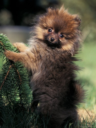 German Spitz (Klein) Puppy Climbing Branch. I must have one of these!
