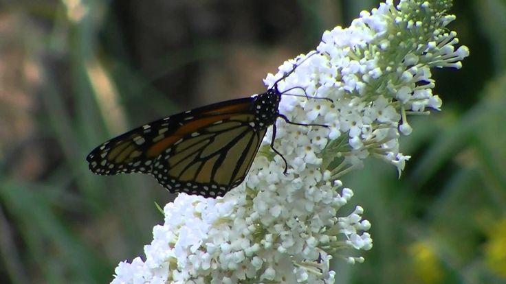 """High Park"" Monarchs"