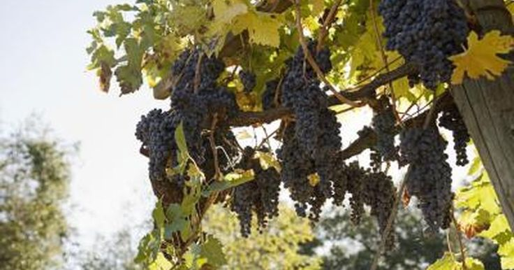 Like green and red grapes, the majority of the calories in black grapes come from carbohydrates. You can eat black grapes raw or use them to make jams or wine. Values listed are for 1.5 cups California black seedless grapes. Values, especially the fiber content, may vary if the skin is removed.