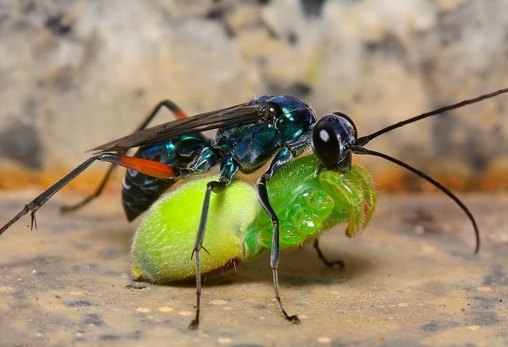 A predatory blue spider wasp feasts on a spider