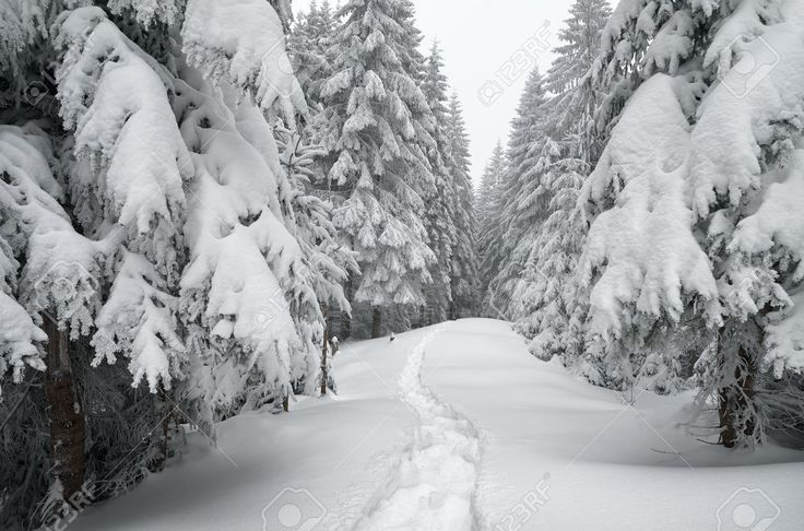 33092070-Winter-landscape-The-trail-in-the-snow-Mountain-forest-overcast-day-Carpathians-Ukraine-Europe-Stock-Photo.jpg (1300×860)