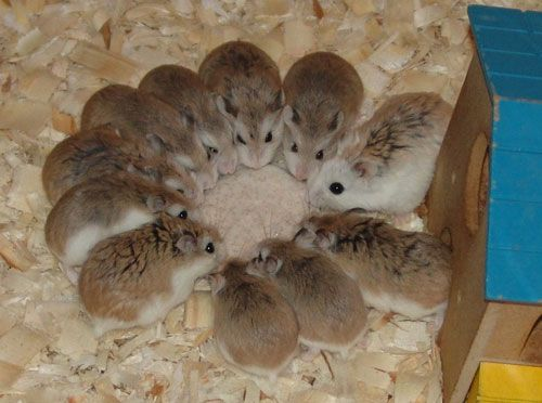 these roborovski hamsters are sure cute but I think there plotting something