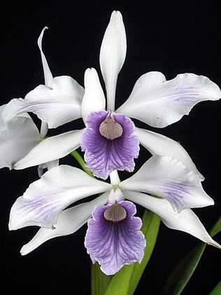 thelordismylightandmysalvation:  Orchidea Laelia Purple