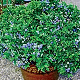 Superior Dwarf Tophat Blueberry   Blueberry Plants   Small Fruit And Berries    Gurneyu0027s Seed U0026 Nursery   Order Before Fall.