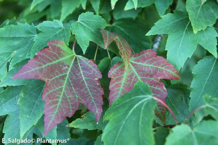 Acer rubrum www.plantamus.es