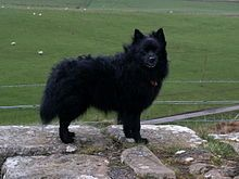 German Spitz Mittel originated in Germany sometime in antiquity, with examples nearly identical to the modern version viewable in 18th-century paintings. The watchful demeanor of these dogs initially led to their being highly valued on farms. Like other medium-sized breeds of antiquity, they probably were used as all-around farm and companion dogs.