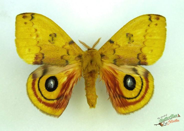 Bulls eye silkmoth automeris io moth SET x1 A1- M saturniidae entomology