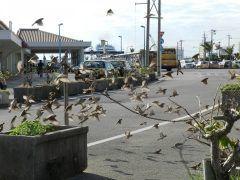 石垣市美崎町の離島ターミナルにスズメにモテモテのタクシードライバーさんがいるんだそうですよ カラスに追われ餌に困っているスズメを見かねてパンを与え始めたのがきっかけで次から次に集まり始めたんだとか 乗っているタクシーの後を追いかけるくらいのモテモテぶりだそう tags[沖縄県]