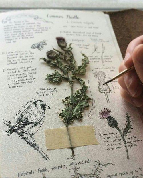 Seite Herbarium mit Pflanze