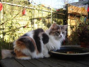 #MaineCoon #Blue #Torti #Tabby #Blotched #White #Cats Daddy Longtail Sue PP (F2)