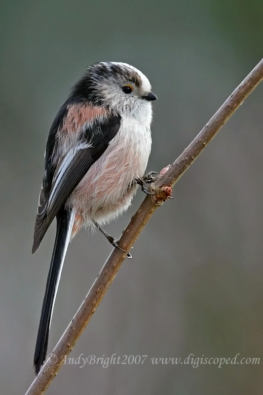 Long tailed Tit - They travel in groups but rarely come into the garden preferring to feed on buds and insects on trees...recently I've a few coming to feed on the feeders hanging in the yard :)