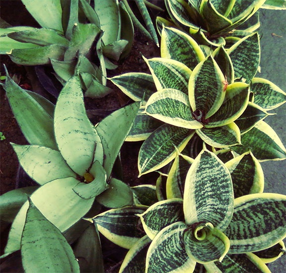 Sansevieria trifasciata forracao jardins e plantas for Ornamental vegetable plants