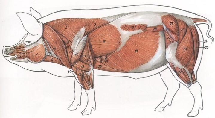 Мышцы коровы анатомия в картинках, вставить