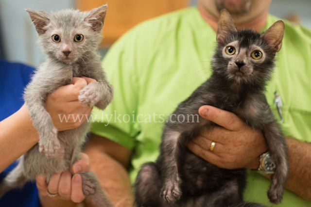 Lykoi Cats, The Werewolf Cat - new breed