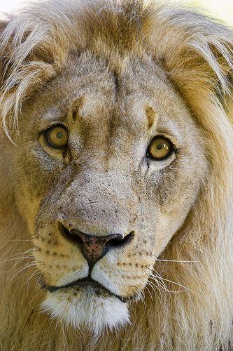 Looks like Lion of Judah!