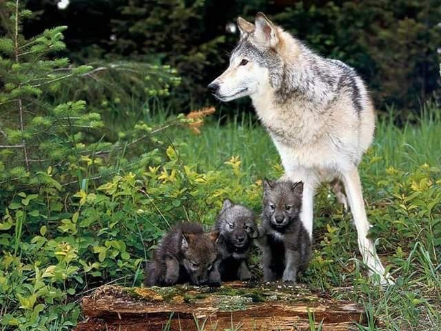 My Friend The Wolf Support Protection Of Wolves Around World It Is Goal Believes