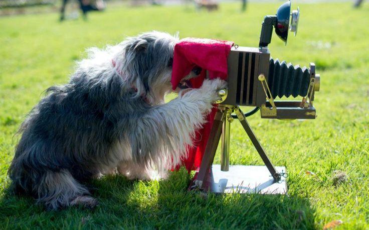 Διαφημιστικές πόζες. Το Θιβετιανό τεριέ ο Τom Tom φωτογραφίζεται  πίσω από μια κάμερα εποχής τοποθετημένη στο μπόι του. Τόσο ο Τom Tom όσο και άλλα αξιολάτρευτα γατάκια και σκυλάκια ποζάρουν για να διαφημίσουν την επερχόμενη έκθεση Hund &Katz που θα γίνει στο Ντόρτμουντ. EPA/MAJAHITIJ