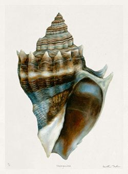 TROWBRIDGE - Meridith Martens Shells - This collection of 9 watercolours of shells is by the North Carolina artist Meridith Martens and was specially commissioned by Martin Trowbridge. They are reproduction giclee prints of her originals printed on fine art Somerset Velvet watercolor paper. They have a hand deckled edge and are of a Limited Edition of 295 signed by the artist. </br>Roomset by:</br> The Le Mani Design Group | Bergen County New Jersey | Lemanidzn@optonline.net | Gary ...
