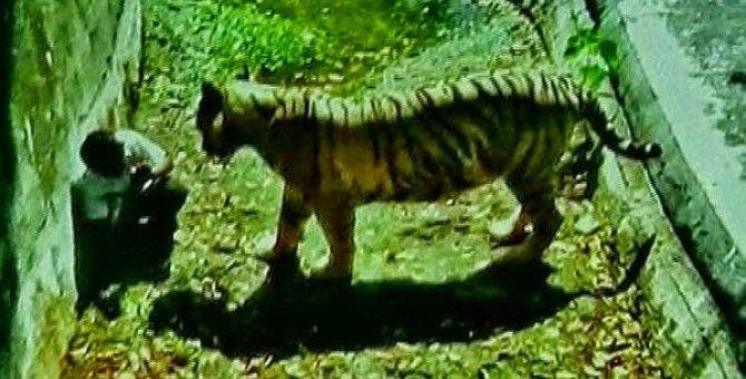 A Boy Killed By Tiger in Delhi Zoo