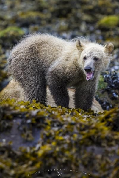 Photo of a cute grizzly bear cub searching for mussels along the beach at low tide, British Columbia