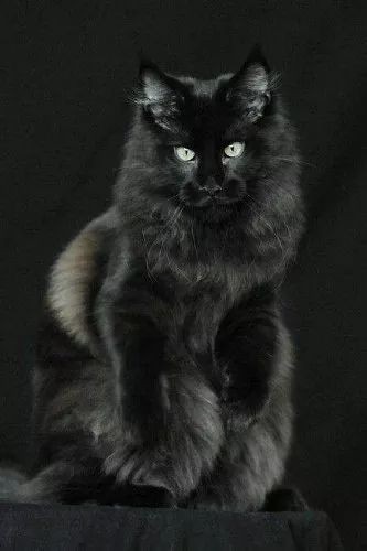 maine coon macho com pedigree black solid
