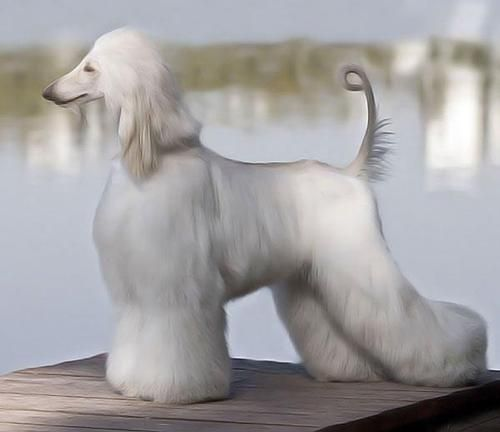AFGHAN  Hound .....nice top line and rear angulation. Breed to the standard. These are the king of dogs, they are elegant and beautiful to behold apart from being sweet goofy children!