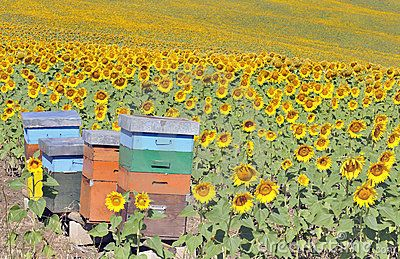 Beehives in a sunflower field