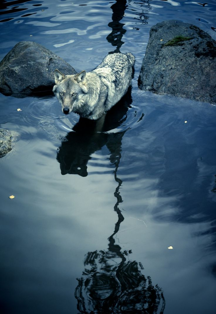 best ideas about wolf photography wolf spirit globalonenessproject the wolf takes your stare and turns it back on you barry loacutepez from the photo essay shadow in by christian houge shadow