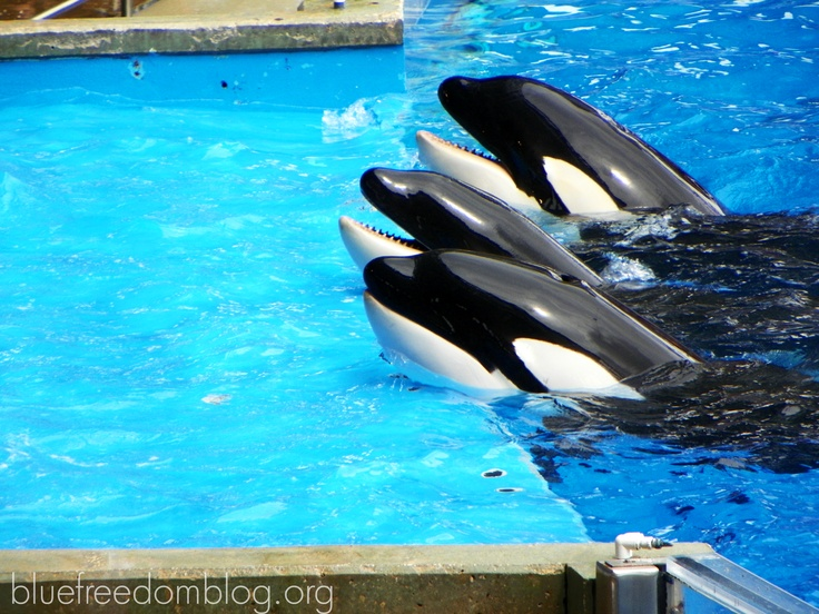 The faces of captivity. #SeaWorld #oceanicconservation # ...