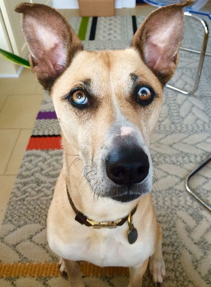 25 amazing animals with different colored eyes or heterochromia