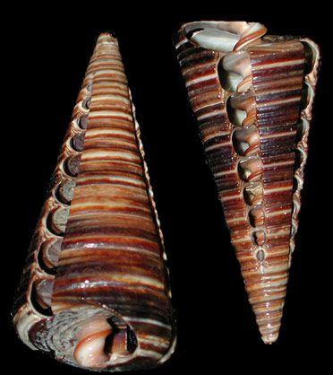Shells | Conchas - #Shells  Shells this length would be cool on a long necklace, chain