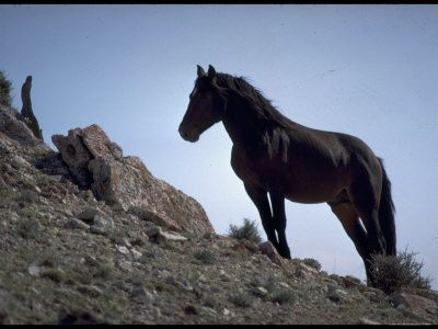 """Wild Mustang Horses Running Across Field in Wyoming and Montana ~~   In 1971, the United States Congress recognized Mustangs as """"living symbols of the historic and pioneer spirit of the West, which continue to contribute to the diversity of life forms within the Nation and enrich the lives of the American people."""