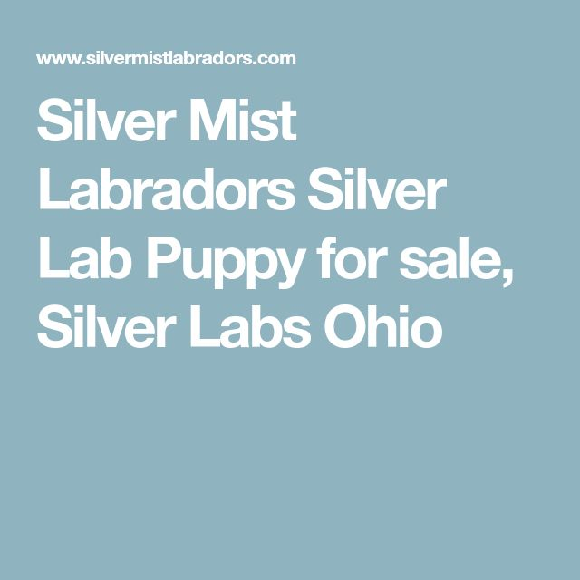 Silver Mist Labradors Silver Lab Puppy for sale, Silver Labs Ohio