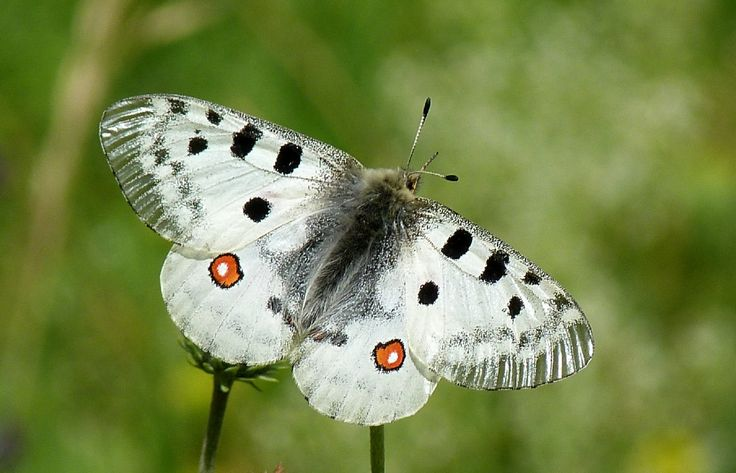 29 best Butterfly identification images on Pinterest ...