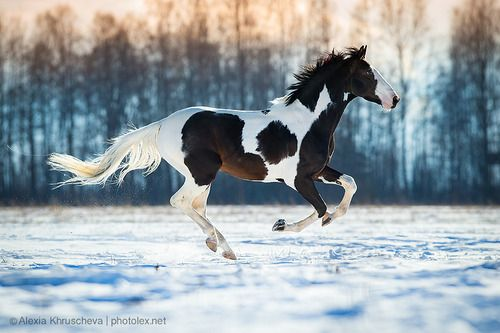 Wild Liver-Chestnut Paint Mustang Cantering on the Snowy Plains.