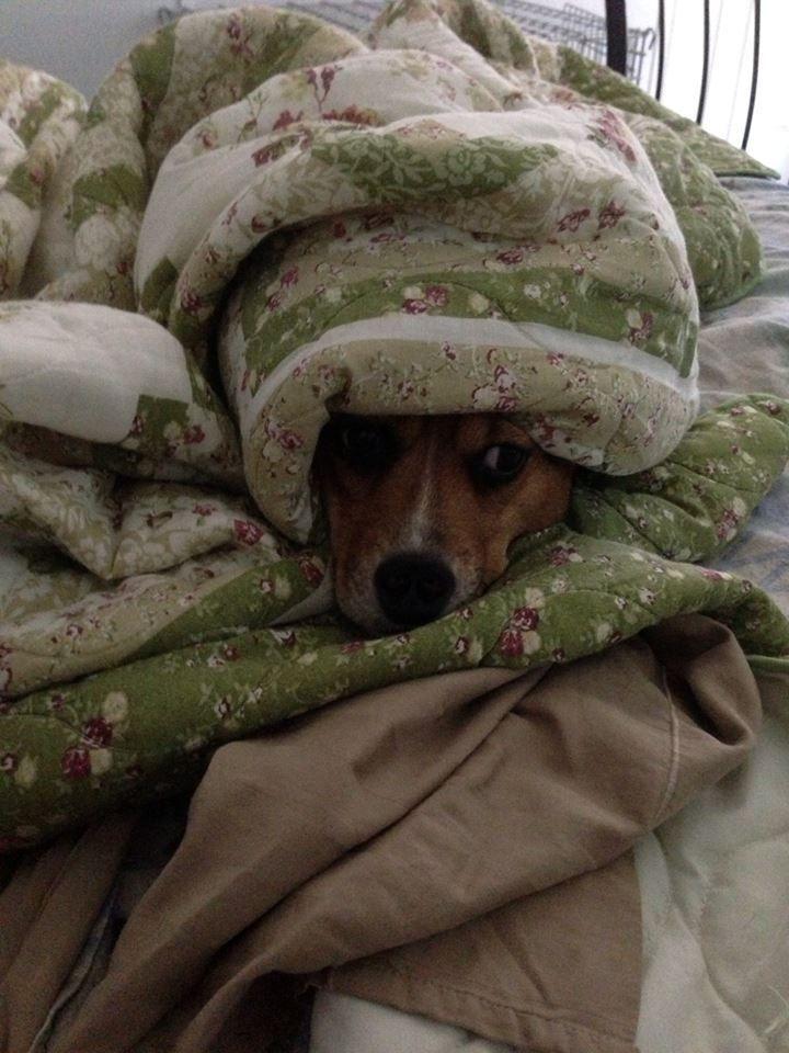#beagle #nap #dogs