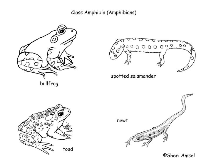 classification of living things chart | class - amphibians ... amphibian diagram  #14