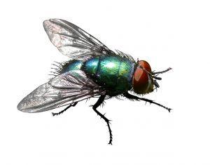 Green Bottle Fly #aceexterminating #greenbottlefly