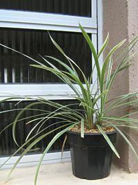 A barba-de-serpente é uma planta herbácea, perene, estolonífera e de folhagem ornamental, semelhante a uma gramínea. Ela cresce em tufos (touceiras) baixos, de 20 a 40 cm de altura, e apresent...
