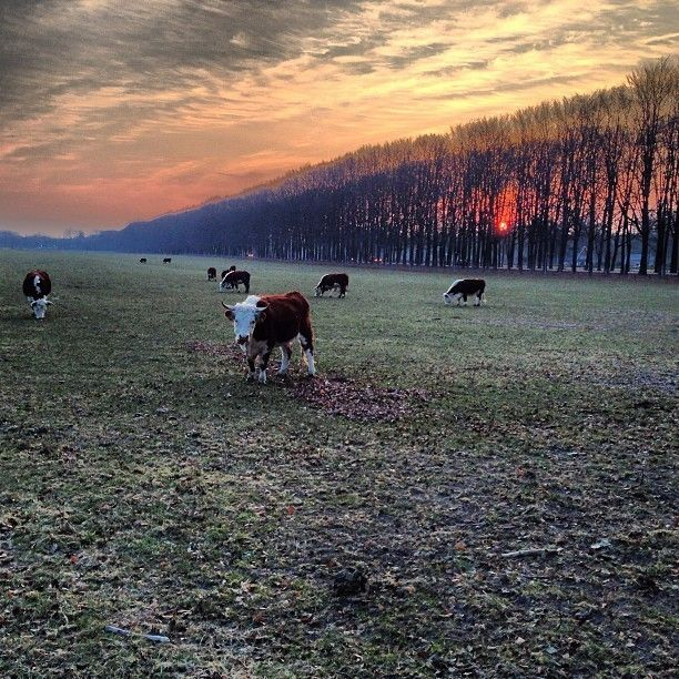 Cowmorning by Caspar ter Horst on 500px