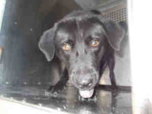 A178441 ~   is an adoptable Labrador Retriever Dog in Garland, TX. I  Large  I  Adult  I  Male  I  Pet ID: A178441 City of Garland Animal Services, Garland, TX  972-205-3570, #2 Email City of Garland Animal Services