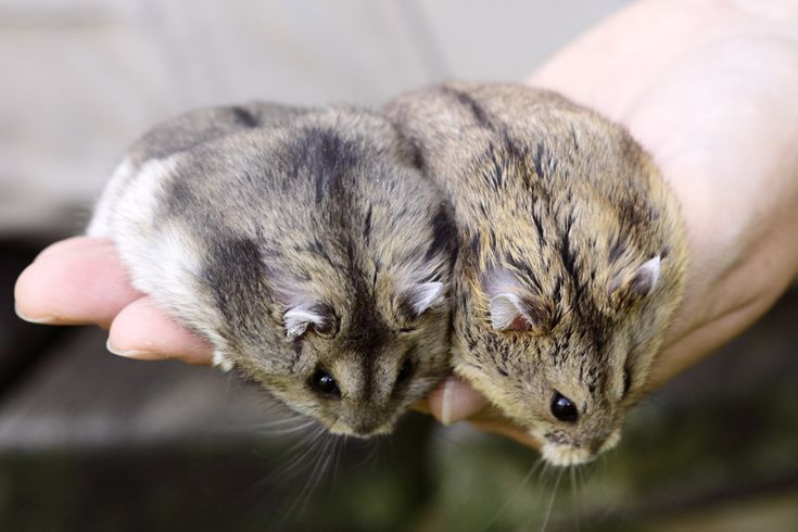 Différencier le russe du campbell | Hamster'opédia