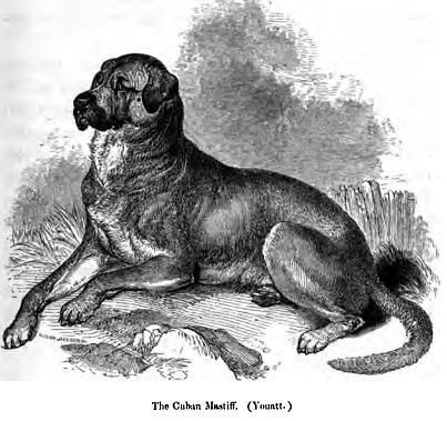 136._Cuban_Mastiff