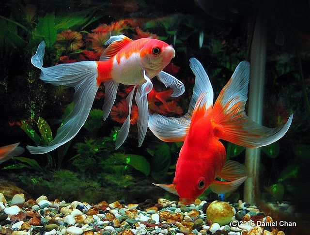 541 best images about koi and goldfish on pinterest for What fish can live with goldfish in a pond