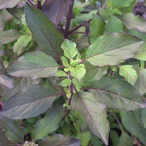 Holy Basil or Tulsi Basil is Ocimum sanctum (now Ocimum tenuiflorum) : Seeds, plant cultivation and uses - Nurseries Online Australia