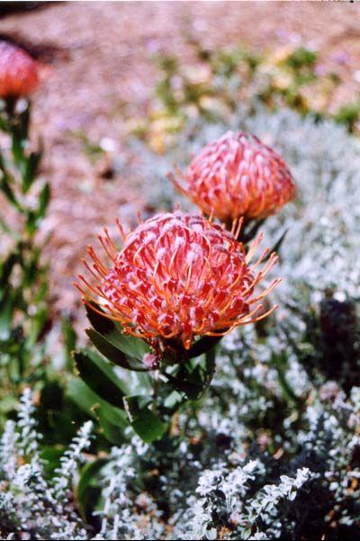 Leucospermum 'Scarlet Ribbon' • Australian Native Plants • Plants • 800.701.6517