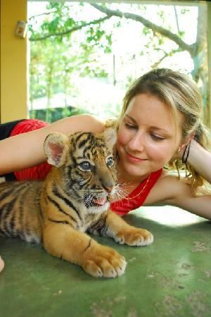 Tiger Kingdom, Chiang Mai, Thailand. Well apparently I NEED to go here!!  things to do in Thailand.