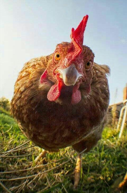 Смешная картинка курицы
