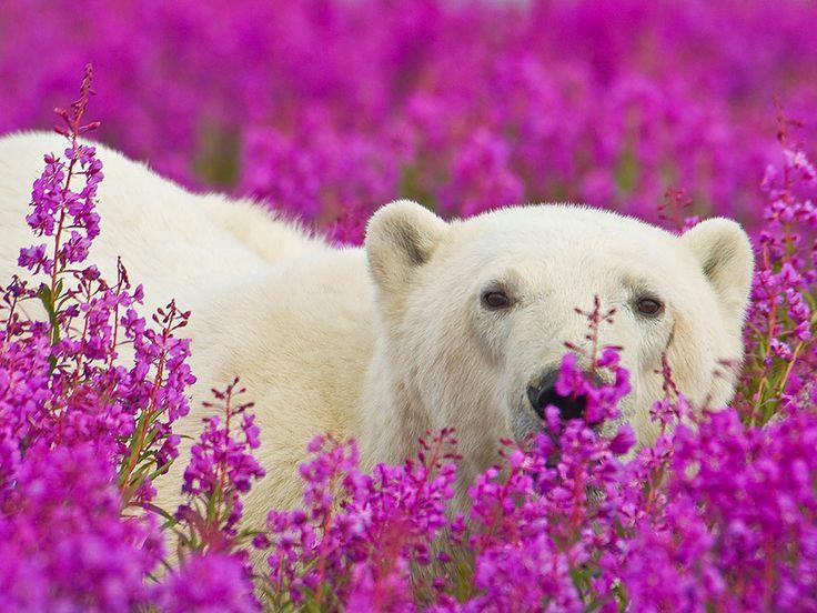 Veja fotografias incríveis de ursos polares brincando em campos de flores | HypeScience